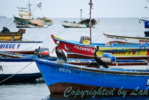 เรือประมงที่ท่าเรือปารากัส เป็นที่พักพิงของนกพิลีแกนเปรู