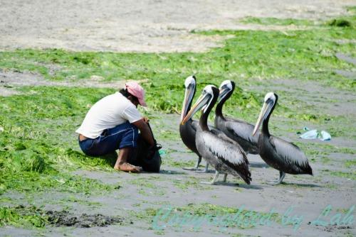 ชาวเปรูที่อาศัยอยู่ในปารากัสทำความคุ้นเคยกับนกทะเลริมชายฝั่ง