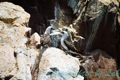 นกบูบบีเปรู (Peruvian Booby) หนึ่งในผู้ผลิตสินค้าล้ำค่ากัวโน (guano)