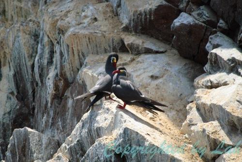 นกนางนวลแกลบอินคา (Inca Tern) ตัวเต็มวัย แต่งหน้าแต่งตาพร้อมสำหรับการหาคู่