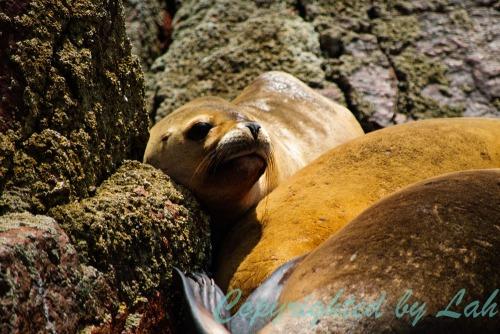 ลูกสิงโตทะเลสายพันธุ์อเมริกาใต้หน้าตาจิ้มลิ้ม พักผ่อนอยู่บนโขดหินบนเกาะ