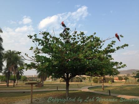 ต้นไม้หน้าห้องที่รีสอร์ทที่พัก เต็มไปด้วยนกแก้วป่าสีสันสดใสนานาชนิดบินมาเกาะพักและกินเมล็ดพืช
