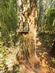 ต้นไม้ในป่าดิบแล้งเปลือกหนาและหยาบในเทรลระหว่างทาง