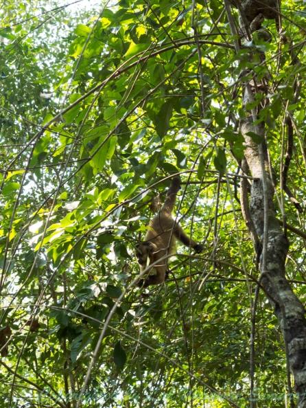 ลิงคาปูชินแสดงตัวให้เห็นระหว่างทางเดินในเทรลและระหว่างการดำน้ำล่องลำน้ำ