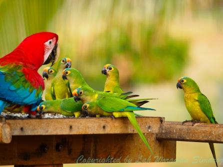 นกแก้วมาคอว์และนกแก้วชนิดเล็กมารุมเกาะกินเมล็ดพืชด้วยกันราวกับครูกับนักเรียน