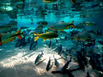 ปลาน้ำจืดตัวโตๆมากมายที่พบเห็นได้จากการดำน้ำล่องไปตามลำห้วย (Photo: Andre Pedro Annes Turatti)