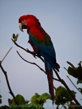 Red-and-green Macaw จากนกที่เคยเกือบสูญหายไปจากพื้นที่กลายเป็นดาวเด่นสำหรับผู้มาเยือน
