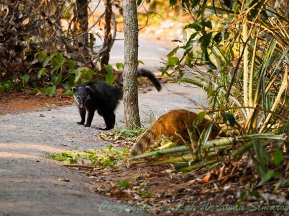 ตัว Quati สัตว์ป่าอเมริกาใต้ โผล่มาให้เห็นระหว่างทางเดินในเทรล