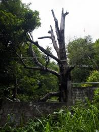 คุณทวด Afo ต้นกานพลูที่อายุ 3-400 ปีเก่าแก่ที่สุดของโลก
